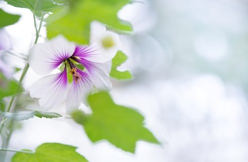 White and purple Flower - Hibiscus rosa-sinensis