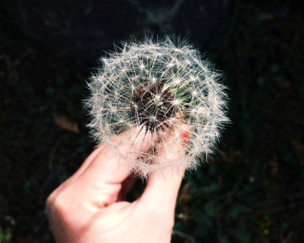 Is it a weed or a dream maker? | The Humbled Homemaker