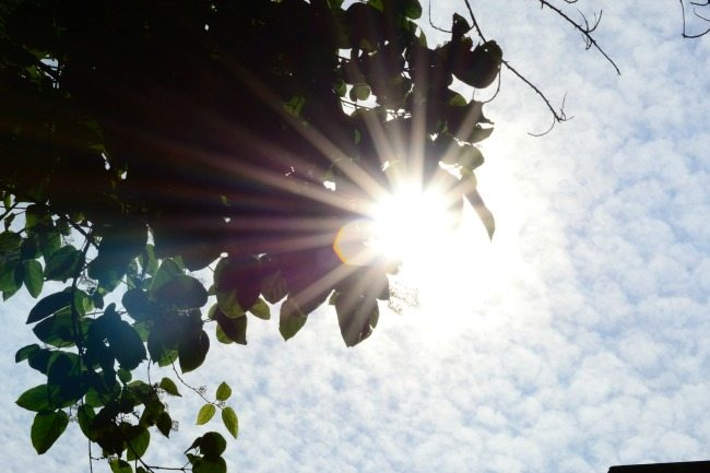 visible sun rays and flares thru green leaves.